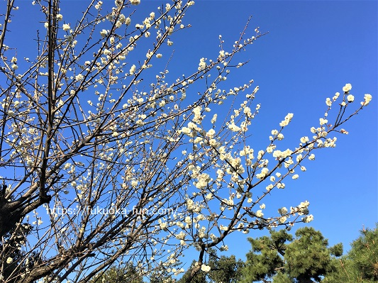 公園 福岡 お花見