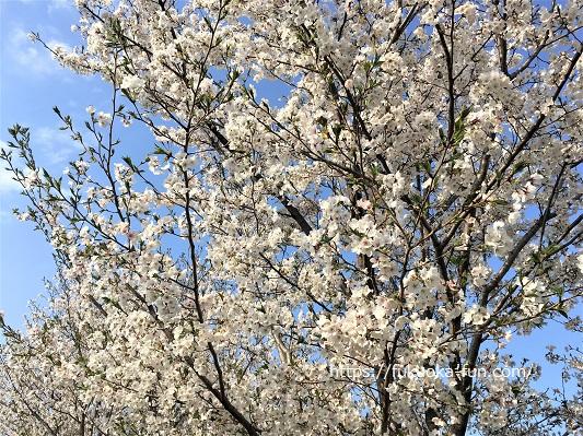 アイランドシティ中央公園 桜