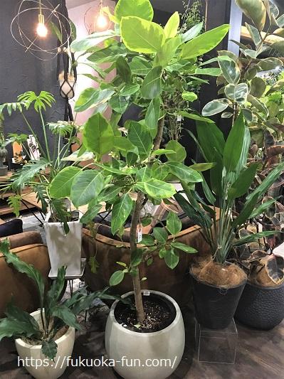 福岡 観葉植物 おしゃれ